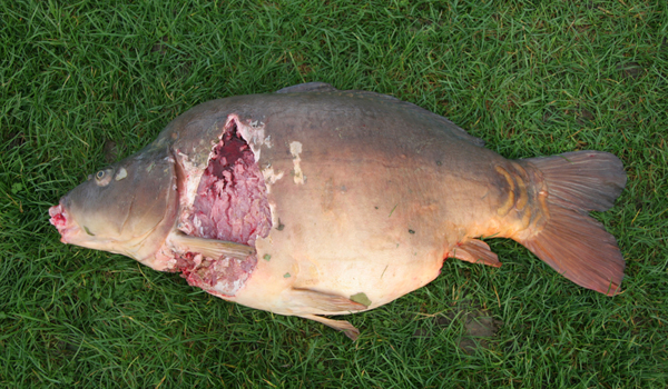 With Otter predation a real problem make sure your not fishing for ghosts. This 41lb carp is not going to be caught ever again is it?